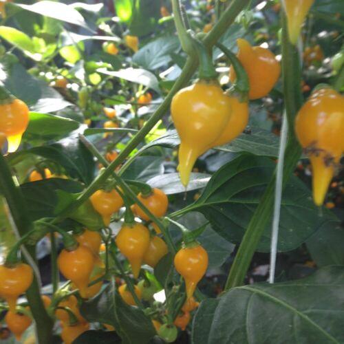 Hot Chilli Pepper Biquino Yellow 20 Seeds