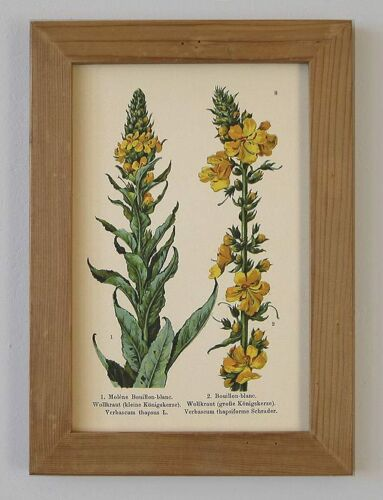 Heilpflanze Heilkräuter Königskerze Faksimile im Holzrahmen 8