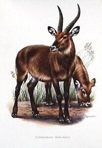 Impression-Affiche-papier-Histoire-Naturelle-le-Cobe-Defassa-Kobus-defassa