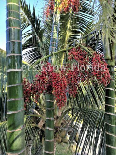 Dypsis pembana Palm Tree