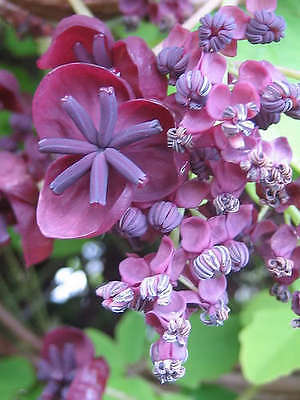 15 CHOCOLATE VINE Edible Fruit Akebia Trifoliata Flower Ornamental Climber Seeds
