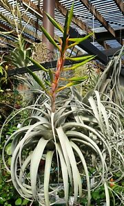 Bromeliad-Tillandsia-xerographica-x-1