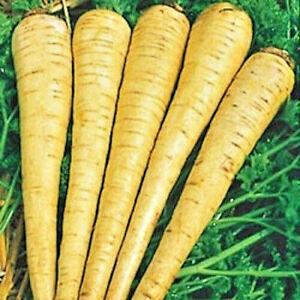 1000 Seeds AMERICAN PARSNIP Herb Non GMO Heirloom Garden