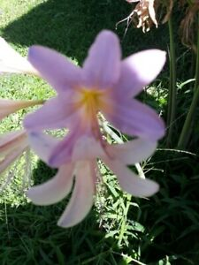 How to Grow Naked Lady Lilies or Amaryllis Belladonna