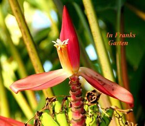 Musa mannii@manns zwergbanane@banane @tolle Fleur + fruit @ 5 graines  </span>