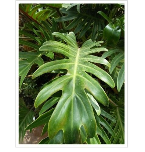 new a plant Xanadu Philodendron /'Xanadu/' Philodendron Winterbourn tropical feel