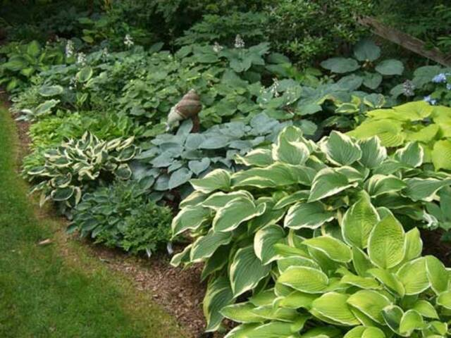 8 Hosta Pot Luck Plantain Lily Mixed Varieties Bare Root Perennial