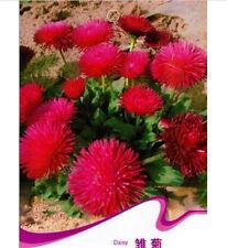 Fd1534 1 Pack 50 Seeds Daisy Seed Bellis Perennis Marguerite Garden Flower\