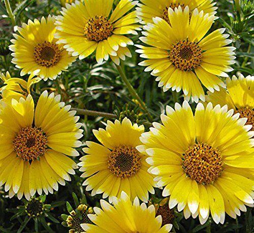 200 graines Été Fleur-layia platyglossa