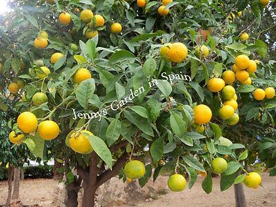 10 Mandarinen-Samen aus unserem Garten in Spanien *süß + saftig* (mand10)