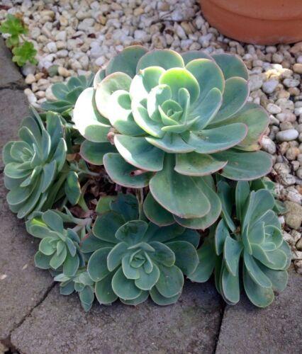 4x Echeveria IMBRICATA Small CUTTING Succulent