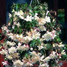 15 Geranium Seeds Cascade Beauty White Trailing Geranium
