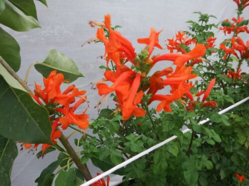 Tecomaria capensis orange,3x rootless cuttings!