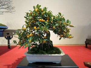 Kumquat Fruit Bonsai Beautiful Miniature Tree 10 Fresh Seeds Ebay
