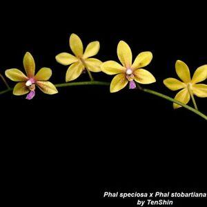 TS521.78 Phalaenopsis speciosa x stobartiana Bare Root A243
