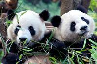 Panda Pals 24x36 Poster Decor Wall Art Nature Friends Kids Animals Wild Life Fun
