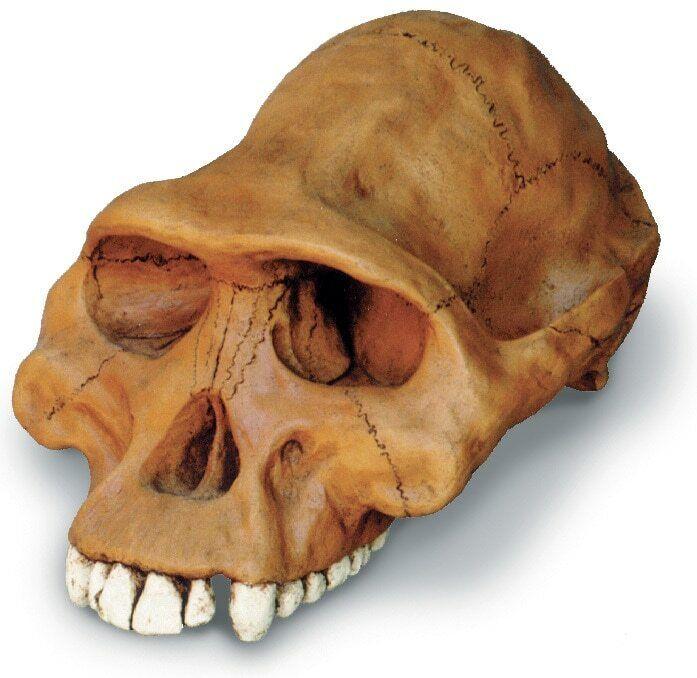 Australopithecus afarensis cráneo Modelo réplica con Soporte