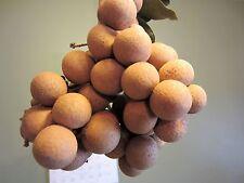 4 Florida Longan Plants in 1 Pot Tropical Fruit Tree Dragon Eye