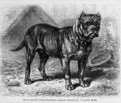 Bullenbeißer Bärenbeißer Sauhund Holzstich Von 1891 Hund Bulldogge Sparen Sie 50-70%