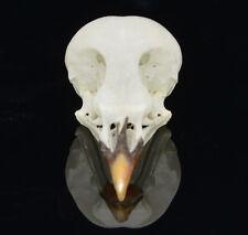 natural real Taxidermy bird skull bones skeleton specimen Arts Crafts Leiothrix