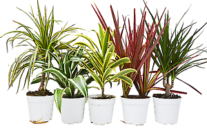 5-Different-Dracaenas-Variety-Pack-Live-House-Plant-FREE-Care-Guide-4-034-Pot