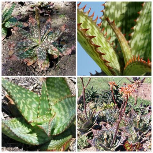 piante grasse piante succulente 50 semi di Aloe greatheadii