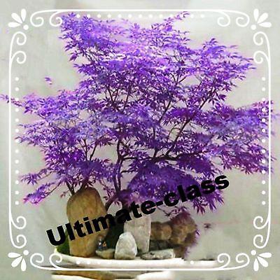 20 Purple Color Japanese Maple Tree Bonsai Seeds Acer Palmatum Ebay