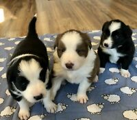 Border Collie Mix Puppies Kijiji In Ontario Buy Sell Save With Canada S 1 Local Classifieds