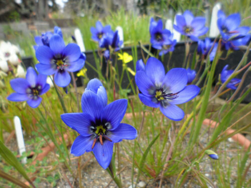 Geissorhiza splendidissima 1 PACK OF SEEDS 20 seeds