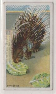 Crested-Porcupine-Africa-Hystrix-cristata-90-Y-O-Trade-Ad-Card