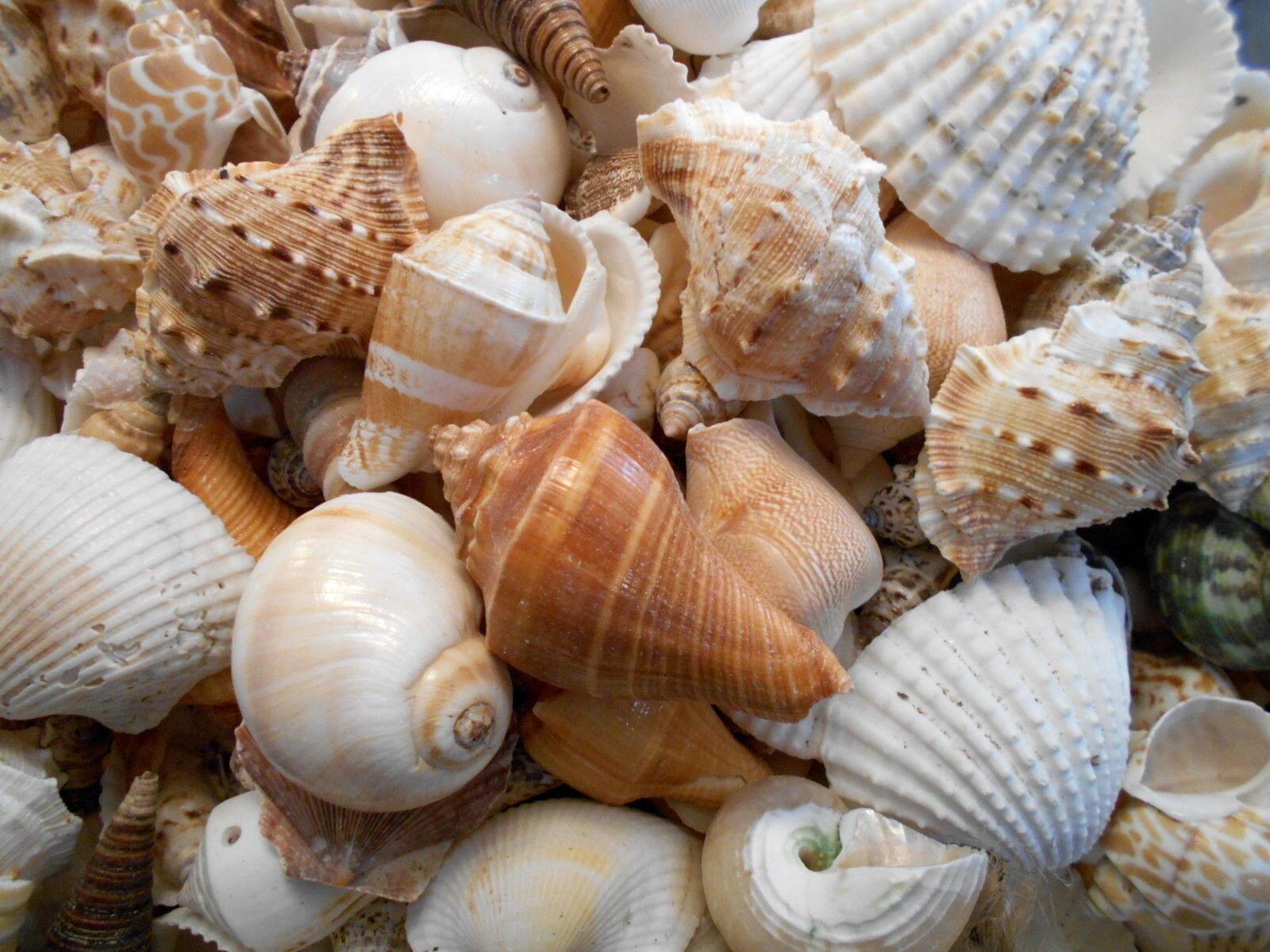 2 Lbs Large Indian Ocean Shell Mix Seashells Beach Cottage Decor Nautical Bulk