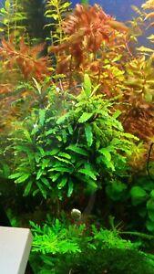 Bucephalandra-cf-motleyana-034-Melawi-034-Aquariumpflanze-Nano-Garnelen-Becken