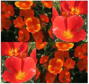 1000 Bulk California Poppy Flower Seeds Mikado Red Eschscholzia