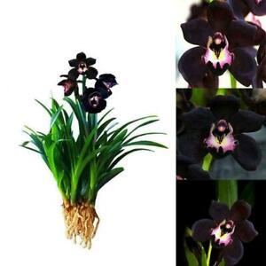 Orchidee-Samen-Schwarz-100-Kapseln