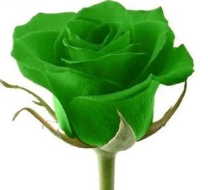 rare green rose seeds rare amazingly beautiful green rose flower 12