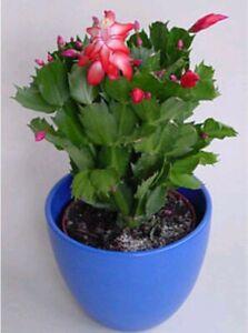 SCHLUMBERGERA-zygocactus-Christmas-Cactus-de-Navidad-planta-3-x-Esqueje