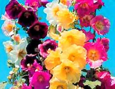 HOLLYHOCK (BEAUTIFUL MIXED SINGLES)! HEIRLOOM WITH LOTS OF GREAT COLORS!