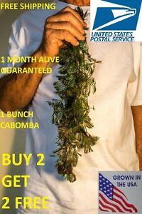 BUY2GET2FREE-Cabomba-fanwort-Tropical-Live-Aquarium-Plants-Bunch-planted-tank