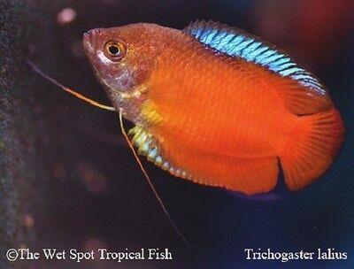 "pegasus: (1) 2"" MALE Red Flame Dwarf Gourami T. lalius fresh tropical fish live"
