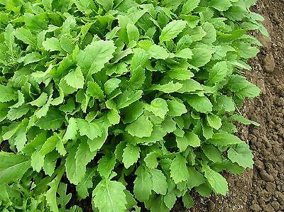 250 Samen Senf Wasabi