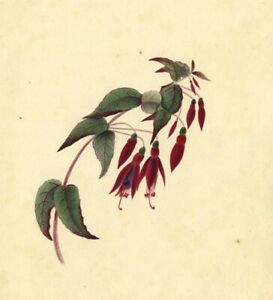 Dangling-Fuchsia-Flowers-Original-early-19th-century-watercolour-painting