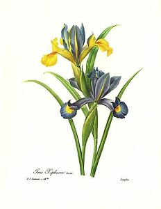 1991 Vintage REDOUTE FLOWER #59b SPANISH IRIS XIPHIUM Color Art Print Lithograph