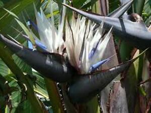 White bird of paradise strelitzia nicolai white flowers plant in image is loading white bird of paradise strelitzia nicolai white flowers mightylinksfo