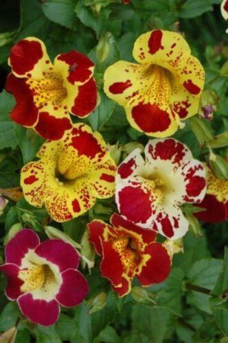 250 graines Tiger-Ménestrel fleur mix Mimulus Brillant blühwunder Fleurs Mélange
