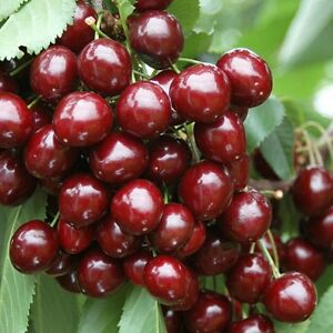 stella cherry tree 9l sweet fruit 1 3m 1 5m 3 years old red