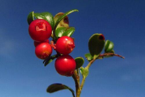 sehr gesund als Obst und Marmelade die PREISELBEERE selber ziehen !
