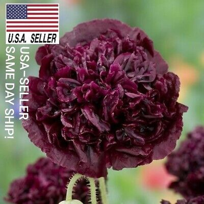 DOUBLE PURPLE Beautiful flowers USA/_SAME/_DAY/_SHIP! POPPY SEEDS 500+