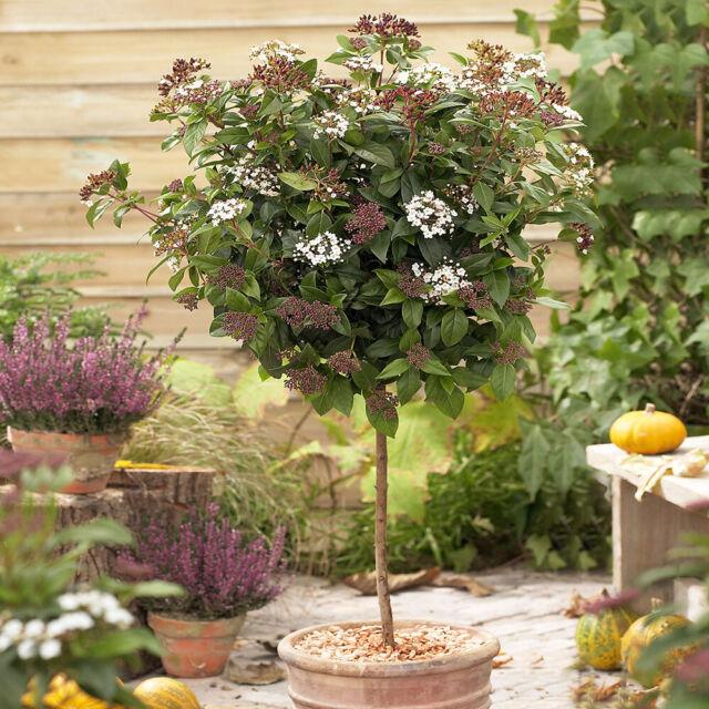 Winter Flowering Viburnum tinus 'Eve Price' 80cm Standard Tree in a 3L Pot