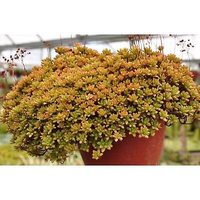 Succulent Aeonium sedifolium 5 fresh cuttings live plant succulent