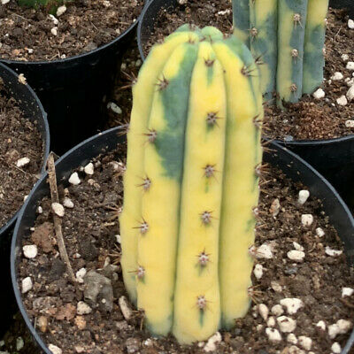 cactus variegated home potted Garden decoration Plants high 8-10cm